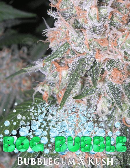 BOG Seeds - BOG Bubble