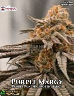 cannarado-genetics-purple-margy