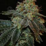 dominion-seed-company-burnout-chem