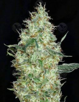 dominion-seed-company-pinebomb