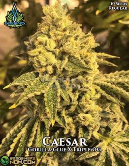 exotic-genetix-caesar
