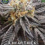 exotic-genetix-cheap-trick