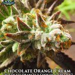 exotic-genetix-chocolate-orange-cream