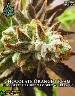 exotic-genetix-chocolate-orange-cream
