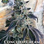 exotic-genetix-concord-cream