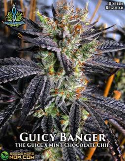 exotic-genetix-guicy-banger