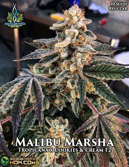 exotic-genetix-malibu-marsha