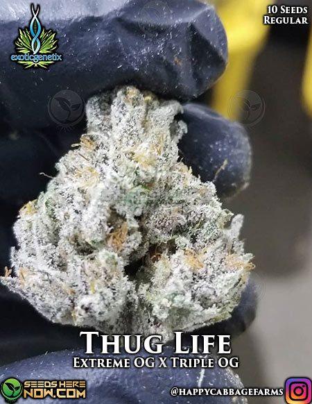 exotic-genetix-thug-life
