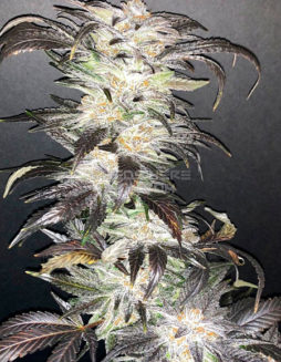 green-team-genetics-whoopie-pie