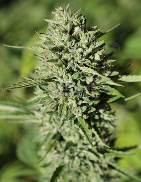 Humboldt Seed Company – Seeds Here Now