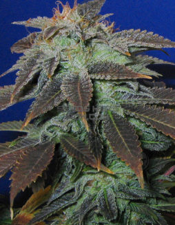 th-seeds-heavy-duty-fruity