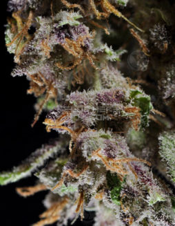 dj-short-seeds-blueberry