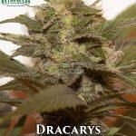 katsu-seeds-dracarys-1-1