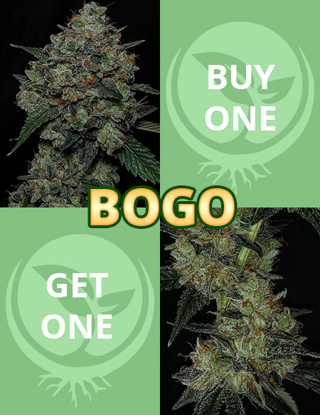 Seeds Here Now – The Gold Standard of Genetics