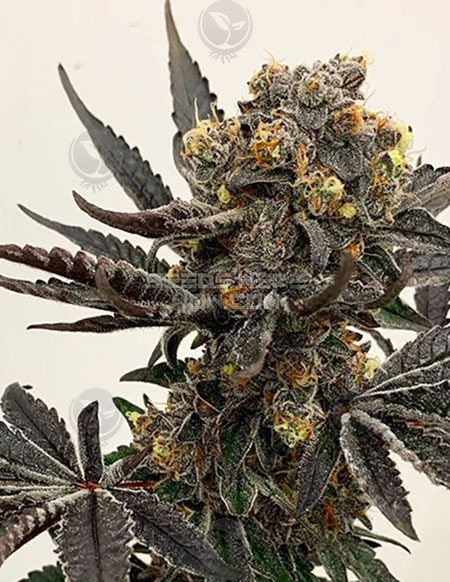 exotic-genetix-colonel-crunch