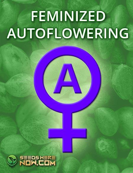 FEMINIZED AUTOFLOWERING