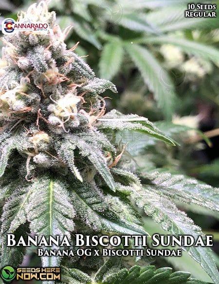 cannarado-genetics-banana-biscotti-sundae