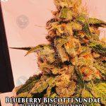 cannarado-genetics-blueberry-biscotti-sundae
