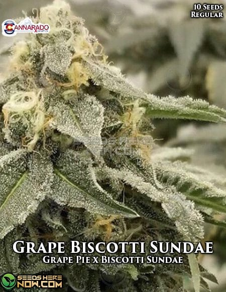 cannarado-genetics-grape-biscotti-sundae