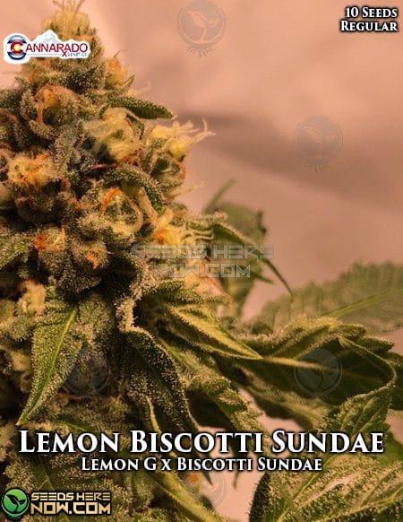 cannarado-genetics-lemon-biscotti-sundae