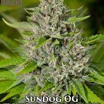 massive-seeds-sundog-og