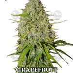 fast-buds-grapefruit