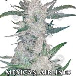 fast-buds-mexican-airlines
