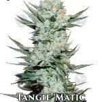 fast-buds-tangie-matic