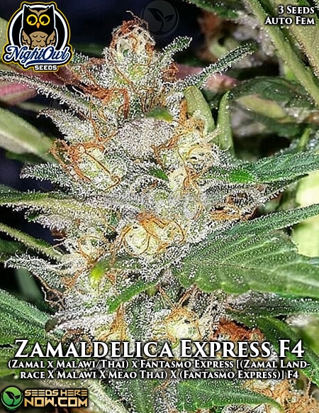 night-owl-seeds-zamaldelica-express-f4