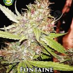 seattle-chronic-seeds-fontaine