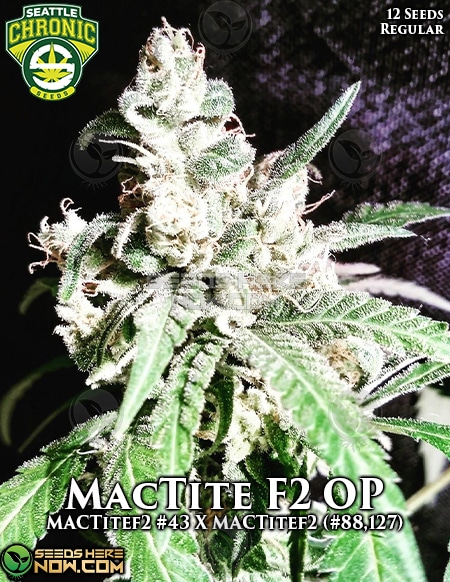 seattle-chronic-seeds-mactite-f2-op
