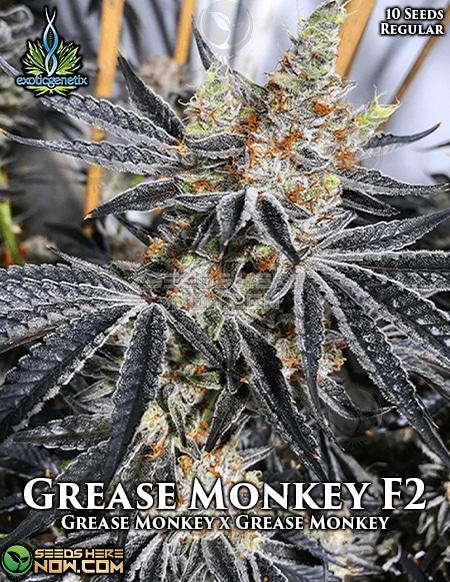 exotic-genetix-grease-monkey-f2